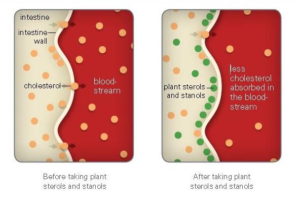 Kolesterol kolesterol Phytocol ST Shaklee Menghalang Pembentukan Kolesterol How plant Sterols and Stanols work