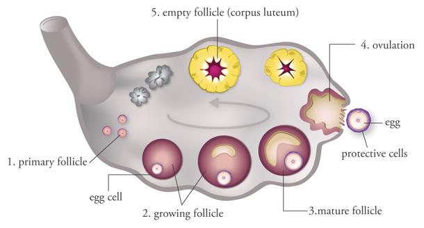 cara kecutkan cyst kecutkan cyst Bagaimana Kecutkan Cyst Dengan GLA Complex mini fiv step1 full ovari cyst