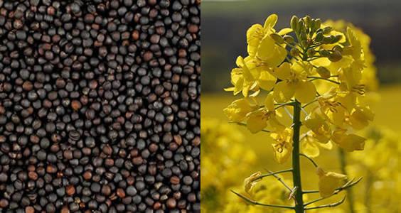canola-and-its-seeds {focus_keyword} Terkejut Sebenarnya Minyak Canola Adalah Tak Baik Untuk Kesihatan canola and its seeds