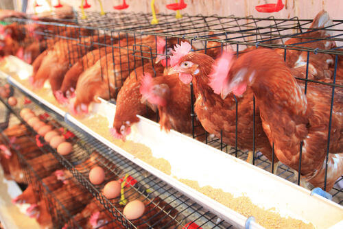 controversy_brewing_poultry_cage_size_1_634612664379028000 {focus_keyword} Info Pasal Telur, Kenapa Ade Telur Murah dan Ade Telur Mahal? controversy brewing poultry cage size 1 634612664379028000