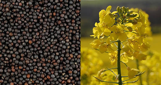 canola-and-its-seeds
