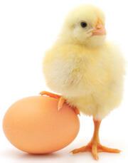 makan telur2 2